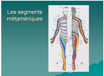 Les segments métamériques
